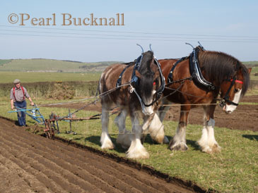 ANGLESEY VINTAGE PLOUGHING MATCH Pair of Shire horses, Davy and David, pulling vintage  hand plough for the Teilia Cup. Cemaes, Anglesey,  Wales, UK  Keywords: activity agriculture animal countryside  heritage power rural teamwork team work
