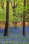 May Bluebell wood with Beech trees in spring near  West Stoke, Chichester, West Sussex, England, UK,  Britain