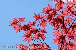 Backlit red Japanese Maple (Acer palmatum) leaves  against a blue sky from below. England, UK, Britain