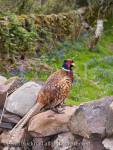 Male Pheasant (Phasianthus colchicus) stood on stone 