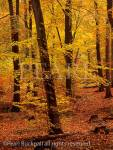 BEECH WOOD (Fagus sylvatica) in autumn in Alice Holt  Forest Park, Hampshire, England, UK, Britain