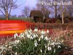 BUNCH of WILD SNOWDROPS (Galanthus nivalis) with a  post van passing on a country lane. Hampshire,  England, UK